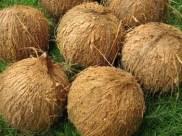 semi-husked-coconuts